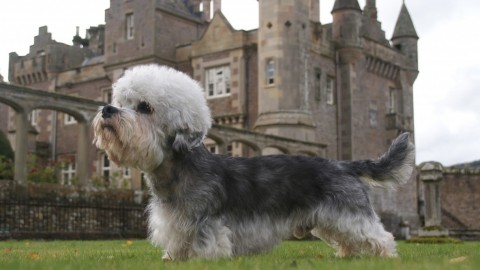 Dinmont Terrier wallpapers high quality