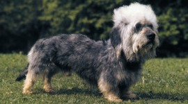 Dinmont Terrier Desktop Wallpaper HD