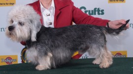 Dinmont Terrier Photo