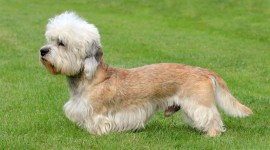 Dinmont Terrier Photo Free