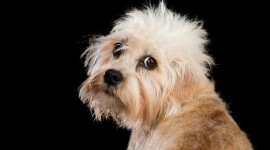 Dinmont Terrier Wallpaper Free