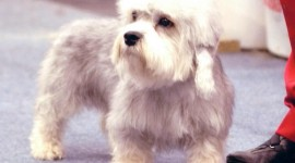 Dinmont Terrier Wallpaper Gallery