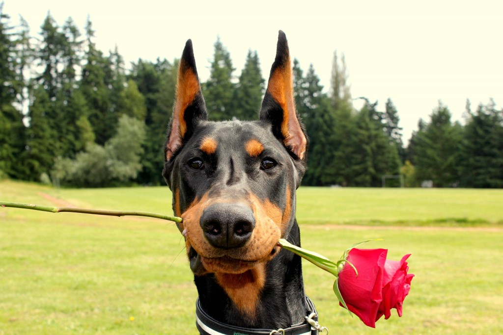 Doberman wallpapers HD