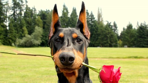 Doberman wallpapers high quality