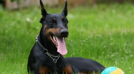 Doberman Desktop Wallpaper For PC