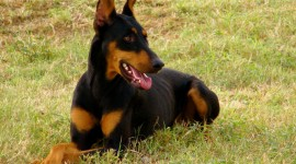 Doberman Photo