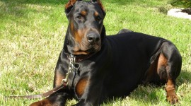 Doberman Photo Download