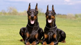 Doberman Photo Free
