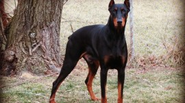 Doberman Wallpaper Download
