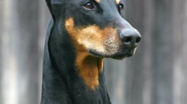 Doberman Wallpaper For IPhone