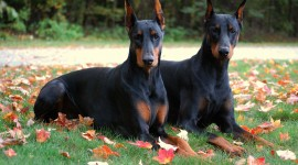 Doberman Wallpaper For PC