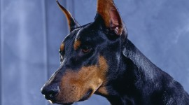 Doberman Wallpaper Free