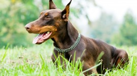 Doberman Wallpaper Gallery