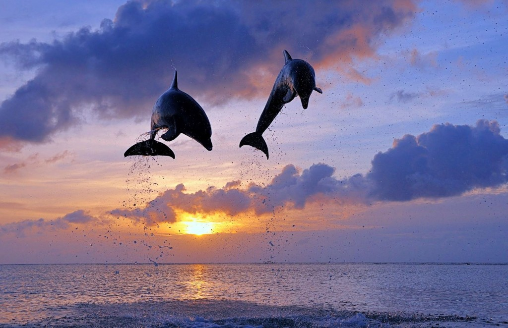 Dolphins At Sunset wallpapers HD