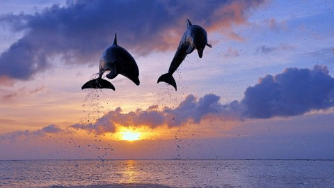 Dolphins At Sunset wallpapers high quality