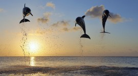 Dolphins At Sunset Photo