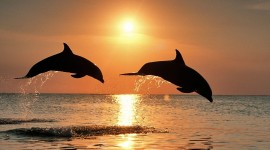 Dolphins At Sunset Wallpaper For PC