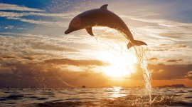 Dolphins At Sunset Wallpaper Free
