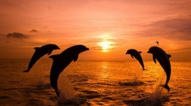 Dolphins At Sunset Wallpaper Gallery