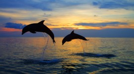 Dolphins At Sunset Wallpaper HQ