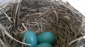 Eggs Of Birds Desktop Wallpaper