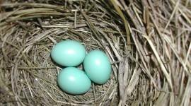 Eggs Of Birds Wallpaper Download Free