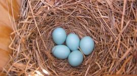 Eggs Of Birds Wallpaper Full HD
