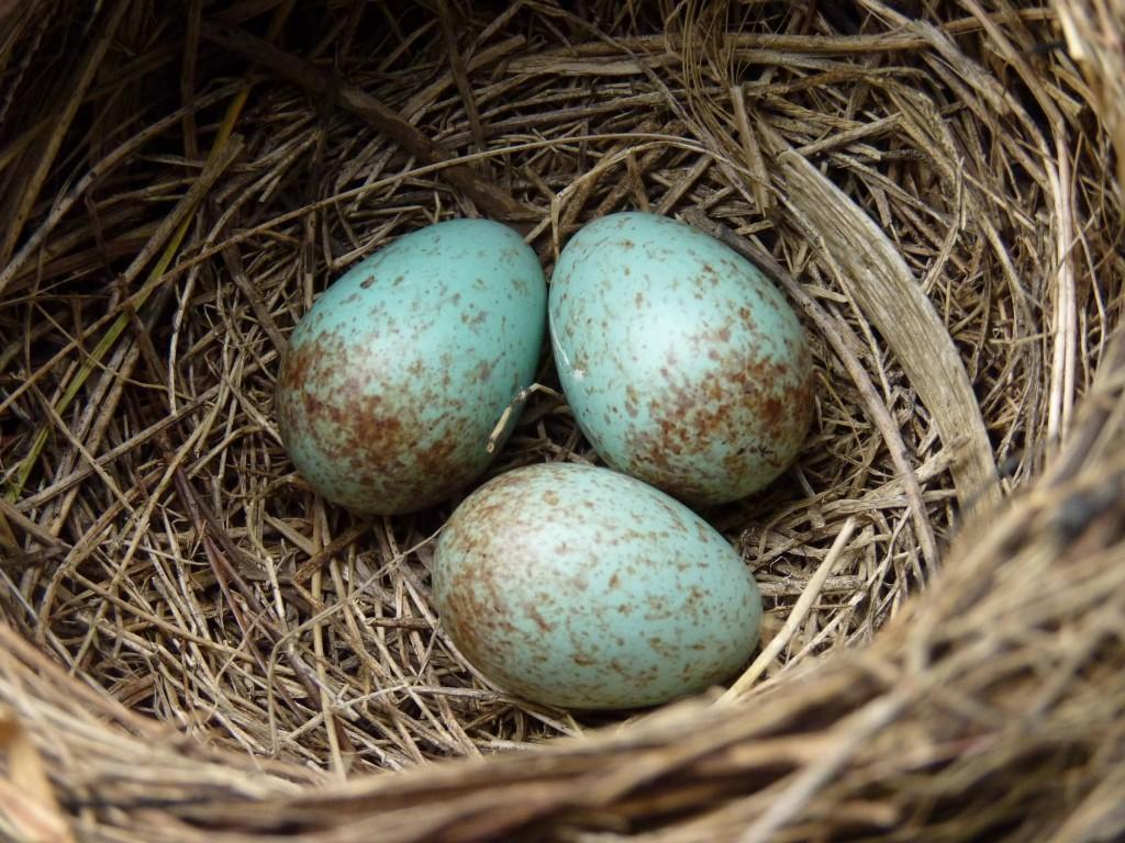 Eggs Of Birds wallpapers HD