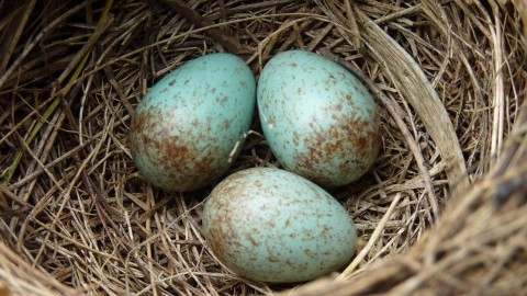Eggs Of Birds wallpapers high quality