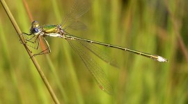 Lestes Photo Download