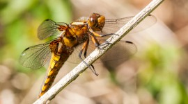 Libellula Depressa Wallpaper Download