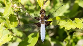 Libellula Depressa Wallpaper Full HD#1