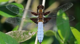 Libellula Depressa Wallpaper Gallery