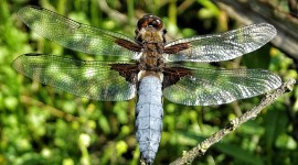 Libellula Depressa Wallpaper HQ