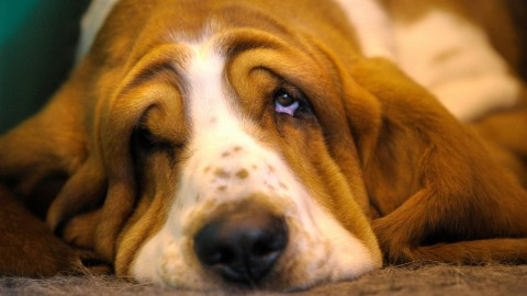 The Basset Hound wallpapers high quality