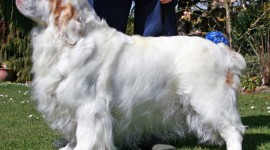 The Clumber Spaniel Photo
