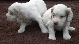 The Clumber Spaniel Photo Free