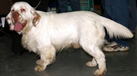The Clumber Spaniel Photo#2