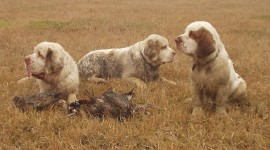 The Clumber Spaniel Pics
