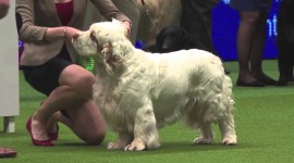 The Clumber Spaniel Wallpaper 1080p