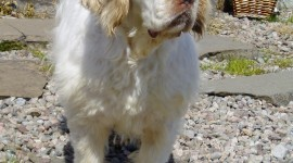 The Clumber Spaniel Wallpaper For Android