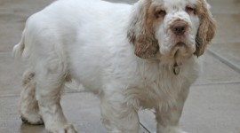 The Clumber Spaniel Wallpaper HQ