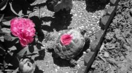 The Road Of Rose Petals Photo Download