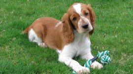 The Welsh Springer Spaniel Photo Free