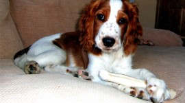 The Welsh Springer Spaniel Photo Free#1
