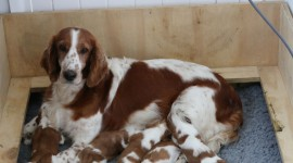 The Welsh Springer Spaniel Photo Free#2