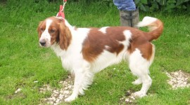 The Welsh Springer Spaniel Photo Free#4