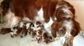The Welsh Springer Spaniel Photo#1