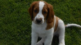 The Welsh Springer Spaniel Photo#2