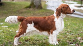 The Welsh Springer Spaniel Photo#3